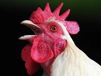 Heitersheimer Familie klagt vor Gericht gegen Hahnenkr�hen