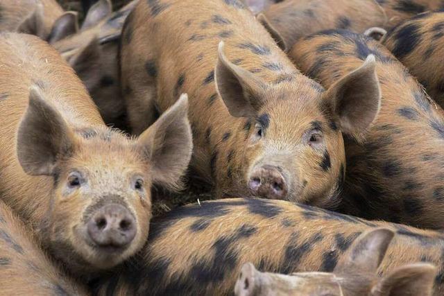 Glücklich und lecker: englische Schweine aus Oberkirch