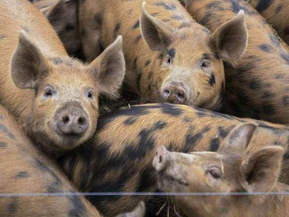 gastronomie bz serie vom land in den mund 2 gl cklich und lecker englische schweine aus. Black Bedroom Furniture Sets. Home Design Ideas