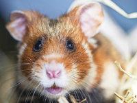 Noch 100 Exemplare: Feldhamster sterben im S�dwesten aus