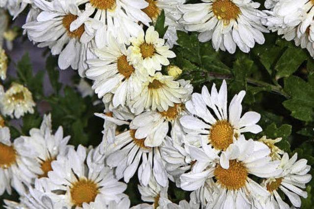 CHRYSAN-THEMA : Blüte in sattem Gelb
