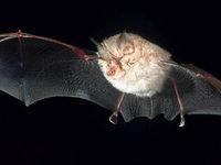 Biologe entdeckt bedrohte Fledermausart in Bollschweil