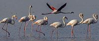 Flamingos in Kuwait