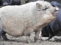 Jäger erschießt versehentlich ein Hängebauchschwein