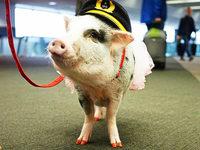 Minischwein LiLou hilft Passagieren mit Flugangst