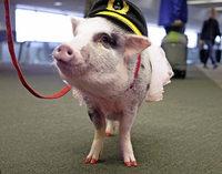 Schweinisches Bodenpersonal gegen die Flugangst