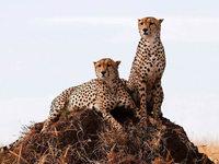 Population der Geparden schrumpft