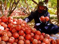 Fotos: Granatapfelernte in Afghanistan