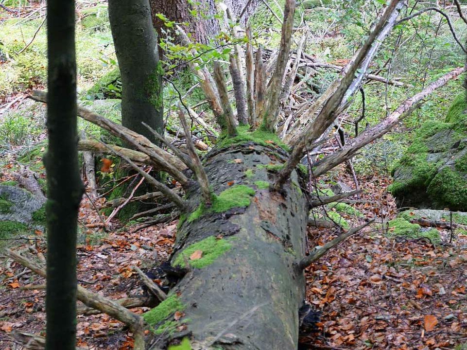Abgestorbene Bäume werden im Wildniswald liegengelassen.  | Foto: Alexandra Wehrle