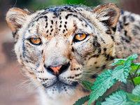 Schneeleopard ist vom Aussterben bedroht
