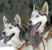 BZ ERSPARNIS: Schlittenhunde in Todtmoos