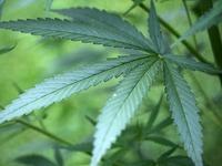 Bundestag beschließt Freigabe von Cannabis auf Rezept