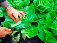 Die Kälte treibt die Gemüsepreise nach oben