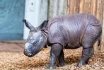 Fotos: So süß ist das neue Nashornbaby im Basler Zoo
