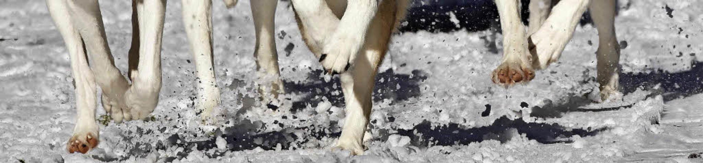 Leichtfüßig rannten die Huskys durch den Schnee.  | Foto: Wolfgang Scheu