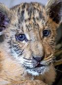 Vater Löwe, Mutter Tiger