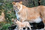 Fotos: Zwei Löwenbabys im Zoo Basel geboren