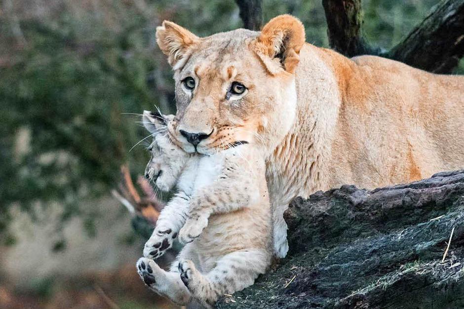 Die Welpen werden neben der Mutter Okoa auch von Vater Mbali und der zweiten Basler Löwin Uma betreut. Uma hat vergangene Woche ebenfalls ein Junges geboren, das jedoch nicht überlebte. Jetzt kümmert sie sich auch um Nyoma und Nikisha. (Foto: Zoo Basel (Torben Weber))