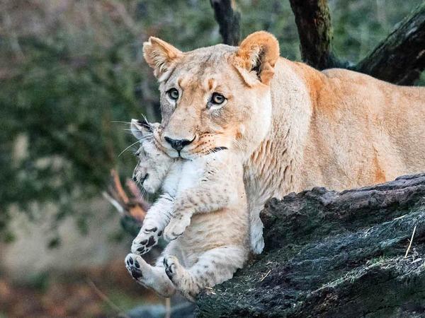 Die Welpen werden neben der Mutter Okoa auch von Vater Mbali und der zweiten Basler Löwin Uma betreut. Uma hat vergangene Woche ebenfalls ein Junges geboren, das jedoch nicht überlebte. Jetzt kümmert sie sich auch um Nyoma und Nikisha.