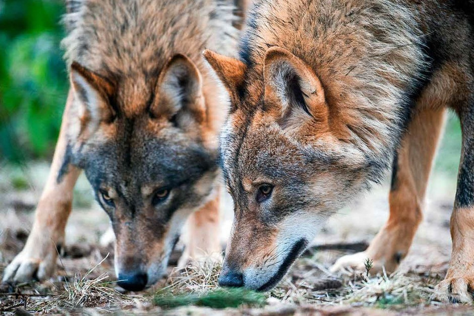 Zwei Wölfe im Biotopwildpark in Isselburg nahe an der niederländische Grenze (Foto: dpa)