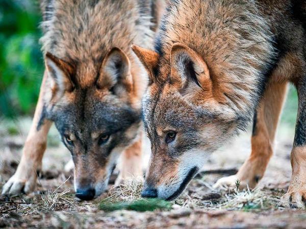 Zwei Wölfe im Biotopwildpark in Isselburg nahe an der niederländische Grenze
