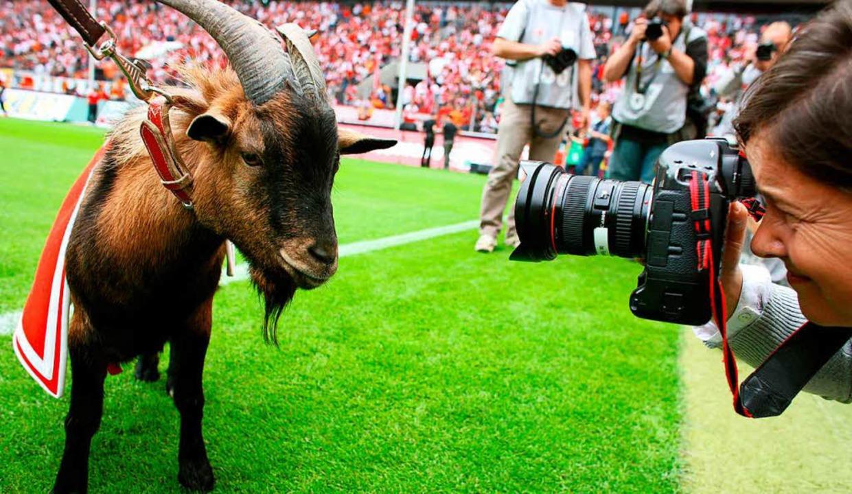 Der Geißbock Hennes ist das berühmte  Maskotten des 1. FC Köln.  | Foto: Verwendung weltweit, usage worldwide