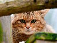 Warum die Wildkatze der Hauskatze fern bleiben sollte
