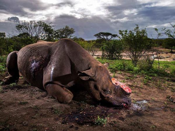 Erster Preis in der Kategorie Natur, Stories: Das Bild von Brent Stirton zeigt den Kadaver eines Spitzmaulnashorn-Bullen, das Wilderer wegen seiner Hörner erlegt haben in Hluhluwe Umfolozi Game Reserve, Südafrika