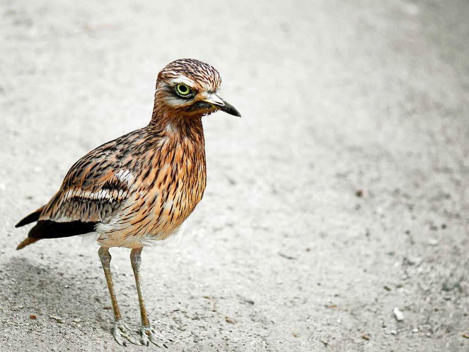 Besonders geschützter Vogel: der Triel  | Foto: Violetta/fotolia.com