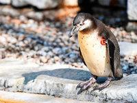 Gestohlener Pinguin wurde ohne Kopf gefunden