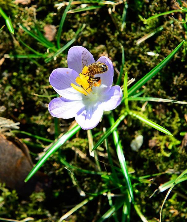 <ppp></ppp> und Bienen bedienen sich an dem einen oder anderen Krokus.  | Foto: Ingo Schneider