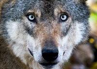 Spaziergänger entdecken erschossene Wölfin im Wallis
