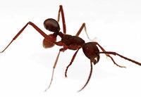 Skurrile Tarnung: Käfer reist als Ameisen-Po
