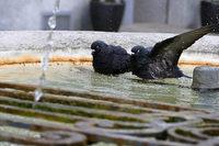 Lörrach: Verfahren gegen Taubenfreund eingestellt