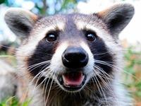 Waschbären im Schwarzwald: putzig oder gefährlich?