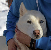 Huskytouren im Hochschwarzwald