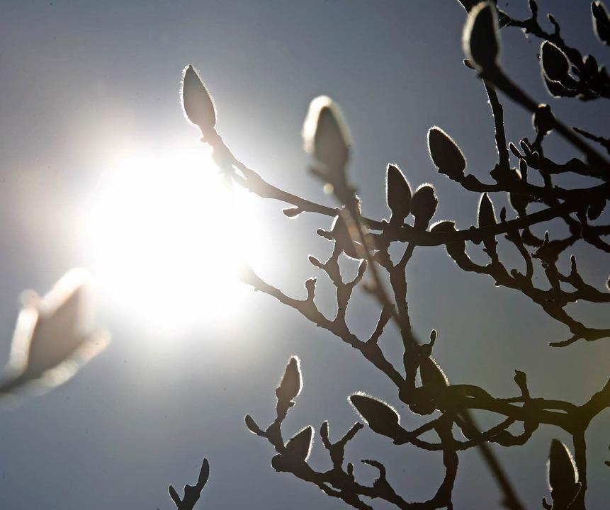 Magnolienknospen  | Foto: symbolbild: dpa