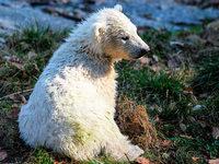 Erstmals tollt Eisbärbaby durch den Zoo in Mulhouse