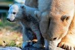 Fotos: Eisbärbaby Nanuk im Zoo Mulhouse