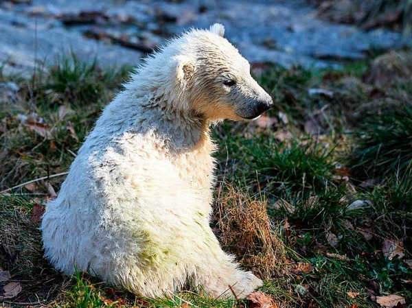 Erstmals tollt Eisbärbaby Nanuk durch den Zoo in Mulhouse.