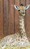 Giraffen-Nachwuchs im Zoo