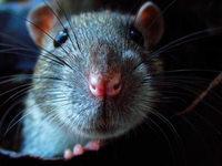Paris kämpft gegen drei Millionen Ratten in der Stadt