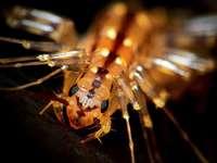 Schreckenstier Spinnenläufer siedelt sich in Südbaden an