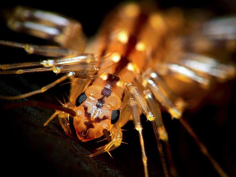 Der Spinnenläufer besitzt kräftige Giftklauen  | Foto: Kevin Collins wikipedia