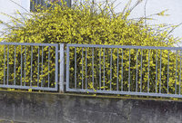 Blütenpracht in Ichenheim