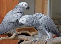 Papagei, männlich, Single, sucht...