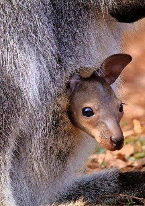 Neugierig lugt  das im Vogelpark Stein...orene Känguru-Baby aus Mamas  Beutel.   | Foto: ZVG