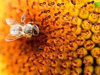 Wie sah der Vorfahre der Bienen aus?