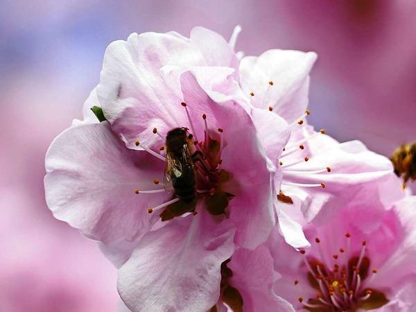 Frühling im Breisgau