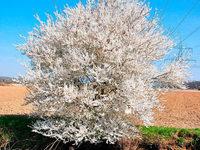 Baum wird wegen Gemarkungswechsels umgebürgert
